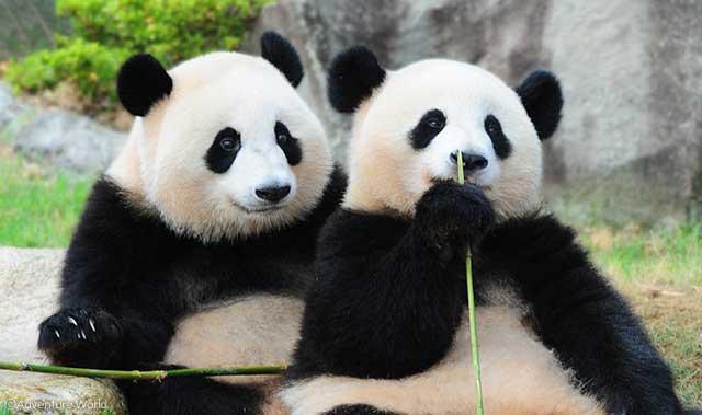 http://www.aws-s.com/assets/img/animals/panda/panda_ouhin_touhin.jpg